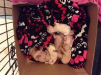 ** Updated November 21st ** We have 2 Chihuahua puppies