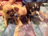 CHIHUAHUA PUPPIES BORN IN OCTOBER. 2 TWIN GIRLS AND 1