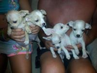 Chihuahua puppies CKC registered females and males they