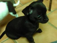 Chihuahua puppies 2 females, $400 each Black with white