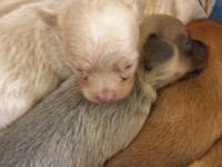 We have a litter of chihuahua puppies that were born on