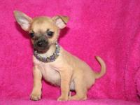 Animal Type: Dogs Breed: Chihuahua chihuahua puppies