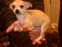 Two male chihuahua puppies for sale. Born on 7/14/2012.