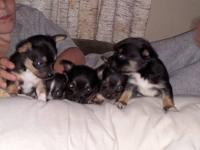 We have four females and one male chihuahua puppies for