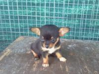 Ten week old chihuahua puppies for sale. They are $ 150