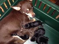3 male and 2 female chihuahua puppies will be all set