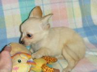 We have 6 8 week old Chihuahuas for sale. There are