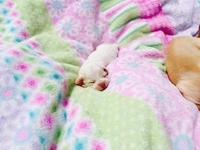 I have 5 three day old chihuahua puppies. I have 3