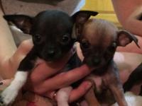 8 wk old small chihuahua puppies for sale. Have first