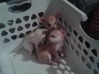 I have 3 Chiuahua Puppies for Sale 10 weeks old .