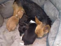 3 Male Chihuahua puppies available. Mother is