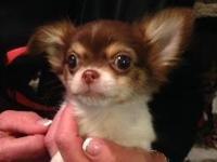 Chihuahua puppies for sale. Beautiful tiny baby dolls.