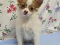Beautiful healthy chihuahua young puppies! Costs Vary.