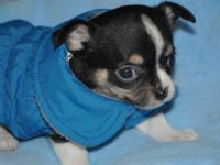 I have 2 male Chihuahua puppies from champion