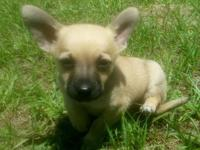 We have 1 male and 1 female Chihuahua puppies. They