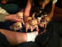 I have 6 chihuahua puppies 5 longhair 1 short hair male