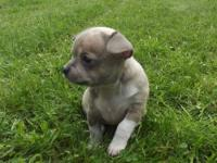 Chihuahua baby girl smooth coat d/b 6/21/13 available
