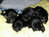 4 readily available 2 males and 1 females. Akc