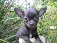 I have several litters of Chihuahua puppies ready for