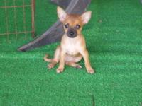 *PRICE REDUCED FOR THE WEEKEND* Adorable Chihuahua