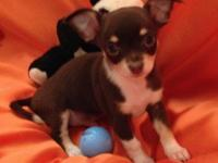 DOB-- 9-04-2014. Beautiful sweet home raised Chihuahua