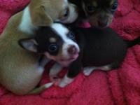 Full blooded apple-head Chihuahua babies, so precious