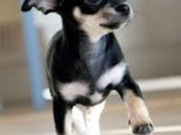 Precious and so cute chihuahua teacup puppies are ready