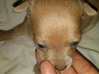 Have 5 chihuahua puppies 3 females and 2 males. Range