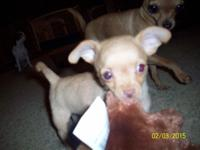We have 1 adorable chihuahua young puppy for sale to a