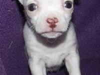Super pretty female, shortcoat chihuahua puppy will be
