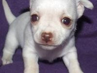 Gorgeous, male, cream, longcoat chihuahua puppy will be