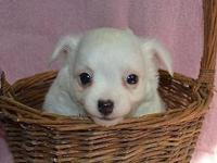 Sweet, male, longcoat Chihuahua puppy will be 8 weeks