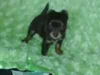 Female 8 week old chocolate color long hair green eyes