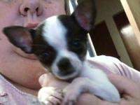 Adorable white and black male chihuahua puppy, born