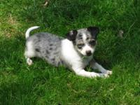 FOR SALE: AKC Chihuahua Puppy,12 weeks old, dewormed