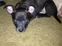 12 week old chihuahua puppy, male. All black with a