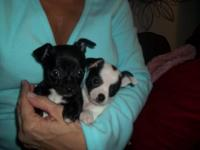 I have 2 Baby Chihuahuas the liitle male is black with
