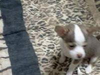 I have 1male 8 week old playful chihuahua puppy for