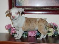Chocolate merle and white female Chihuahua. She is a