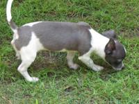 Stunning and rare color male chihuahua puppy, he is