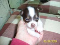 CKC Chihuahua puppy, male, white with chocolate