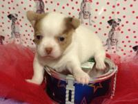 We have a lovely little chihuahua male who will