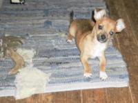 Chihuahua puppy 11 weeks old, shots provided and have