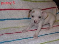 I have 1 white female Chihuahua Puppy left will be