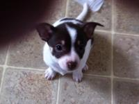 Charming, lively little male Chihuahua young puppy.