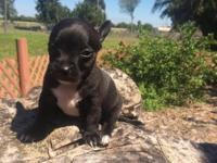 Beautiful male chihuahua puppy black with white