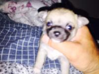 I have 11 week fawn Sc Chi female.ready to go home,Pet
