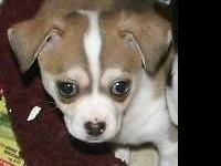 Chihuahua puppy Brown/White male he was born Sept 18,