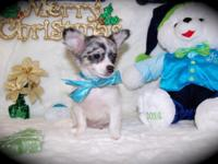 Chihuahua young puppy, he is a male, longhaired and he