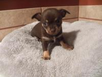 Look at this precious little CKC Chocolate Chihuahua.